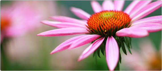 Echinacea – the importance of quality & dosage