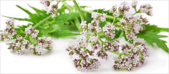 Valerian - Calm Nervousness and Aid Relaxation