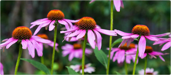 What can echinacea do for your immune system?