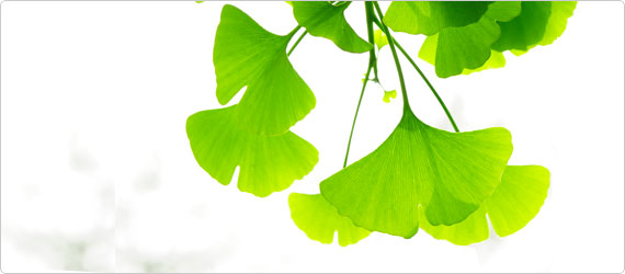 Ginkgo biloba – Benefits to circulation