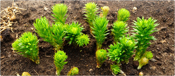 Rhodiola rosea - Supporting Stress in the modern day life